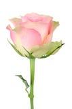 O botão de um cor-de-rosa aumentou Foto de Stock Royalty Free