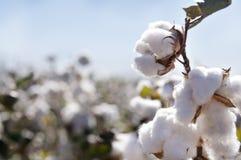 Botão do algodão no campo Foto de Stock