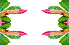 Botão do deserto Rosa cor-de-rosa Imagem de Stock