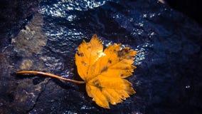 Botom di permesso dell'acero di una cascata Fotografia Stock Libera da Diritti