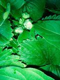 botones de fresas Fotos de archivo