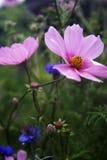 Botones rosados del cosmos y del soltero en un campo Fotos de archivo