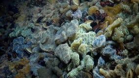 Botryllus schlosseri,一般叫作星海鞘类或金黄星被膜 股票视频