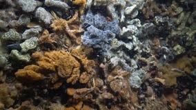 Botryllus-schlosseri, allgemein bekannt als der Stern Ascidian oder goldene das Sternmanteltier stock video