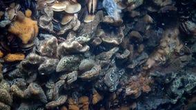 Botryllus-schlosseri, allgemein bekannt als der Stern Ascidian oder goldene das Sternmanteltier stock video footage
