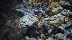 Botryllus-schlosseri, allgemein bekannt als der Stern Ascidian oder goldene das Sternmanteltier stock footage