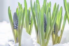 Botryoides del armeniacum del Muscari o jacinto de uva en la nieve fotos de archivo