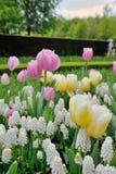 Botryoides del Muscari e fiori dei tulipani Immagine Stock Libera da Diritti