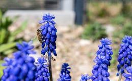 Botryoides del Muscari del jacinto de uva común en la plena floración con una abeja de la miel que trabaja para la miel Foto de archivo libre de regalías