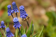 Botryoides del Muscari del jacinto de uva com?n en la plena floraci?n fotos de archivo libres de regalías