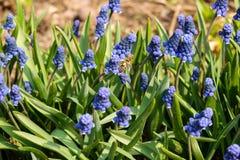 Botryoides del Muscari del jacinto de uva com?n en la plena floraci?n imágenes de archivo libres de regalías