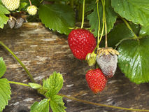 Botrytis Fruit Rot Or Gray Mold Of Strawberries Stock Photos
