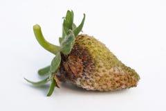 Botrytis smittade den omogna jordgubben på en vit bakgrund Royaltyfri Foto