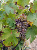 Botrytised Chenin grape, early stage, Savenniere, France Royalty Free Stock Photo