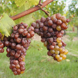 Botrytised Chenin grape, early stage, Savenniere, France. Noble rot is a beneficial form of a grey fungus botrytis cinerea, it produces fine and concentrated Royalty Free Stock Images