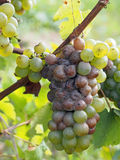 Botrytised Chenin grape, early stage, Savenniere, France stock image