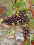 Botrytised Chenin grape, Savenniere, France. Noble rot is a beneficial form of a grey fungus botrytis cinerea, it produces fine and concentrated wines Stock Photos