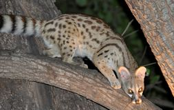 Botswana: African wildcat, nocturnal animal, endangered species. Botswana: The African wildcat is a nocturnal animal and belongs to the endangered species royalty free stock images