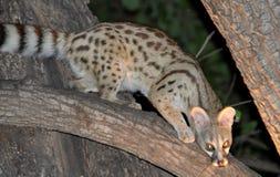 Botswana: Afrikansk vildkatt, nattligt djur, hotade arter royaltyfri foto