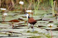 Botswana afrykanin Jacana, Chobe park narodowy - Obrazy Stock