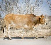 Botswana Beef Cattle Royalty Free Stock Image