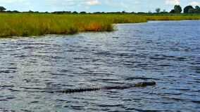 Free Botswana. Chobe River. A Large Dangerous Crocodile Swims In A Clear River Stock Image - 181486861