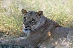 Botswana: Een luie Leeuwin die in het gras van de Kalahari liggen royalty-vrije stock fotografie