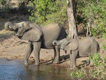 botswana elefanter Arkivbild