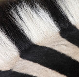 botswana equus kwaga zebra Fotografia Royalty Free