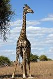 botswana giraff royaltyfri fotografi