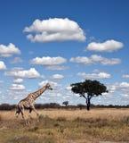 botswana giraff arkivbilder