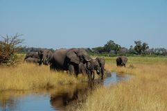 Botswana herd of Elephants drinking water in creek stock images