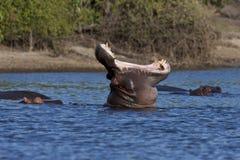 botswana hipopotam Zdjęcie Stock