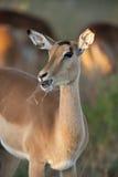 botswana kvinnligimpala Royaltyfri Fotografi