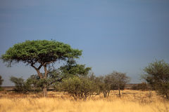 Botswana landscape. View of trees and sky ready to rain at Kalahari desert, southern Africa Royalty Free Stock Image