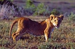 Botswana: Lion Baby i den centrala Kalaharien arkivbilder
