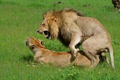 botswana lions som parar ihop okavango Arkivfoton