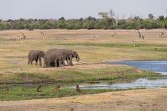 Botswana plains game. Many game on plains in Botswana including elephant (Loxodonta africana), baboon, giraffe and Zebra, 2015 royalty free stock photography