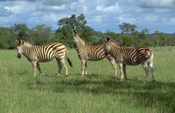 Botswana: Trzy zebry w bujny zieleni pustyni obrazy stock