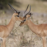 Botswana - Two Male Impala stock photography