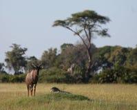 Wild Tsessebe Antelope in African Botswana savannah Royalty Free Stock Photos