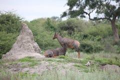Wild Tsessebe Antelope in African Botswana savannah Stock Images