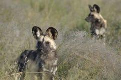 Botswana: Wilddog-reserva en el prado Safari Lodge en el centr imágenes de archivo libres de regalías
