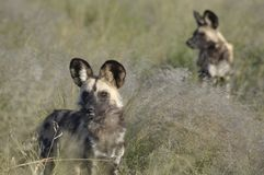 Botswana: Wilddog-reserve bij Weide Safari Lodge in centr royalty-vrije stock afbeeldingen