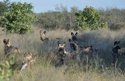Botswana: Wilddogs está jugando alrededor como pupets pero es cazador peligroso foto de archivo libre de regalías