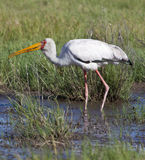 Botswana - Yellowbilled Stork. A young Yellowbilled Stork (Mycteria ibis) in the Okavango Delta in Botswana Stock Photography