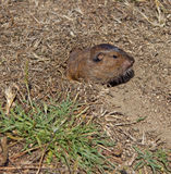 Botta's Pocket Gopher Stock Photography