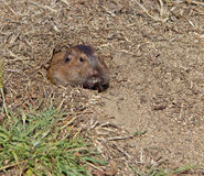 Botta's Pocket Gopher (Thomomys bottae) Stock Photography