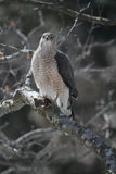 Bottai Hawk Holding Shrew Fotografia Stock Libera da Diritti