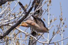 Bottai Hawk About per prendere volo fotografie stock